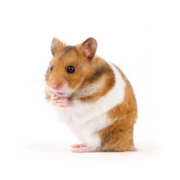 Hamster - Rongeur