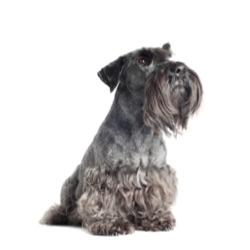 Terrier tchèque