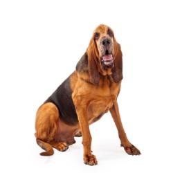Perro de San Huberto