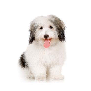 coton de tuléar race de chien