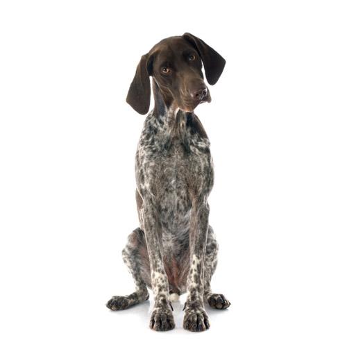 Braco Alemán De Pelo Corto Raza De Perro