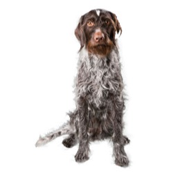 German Wirehaired Pointer