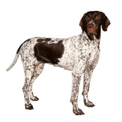 Ancien chien d'arrêt danois