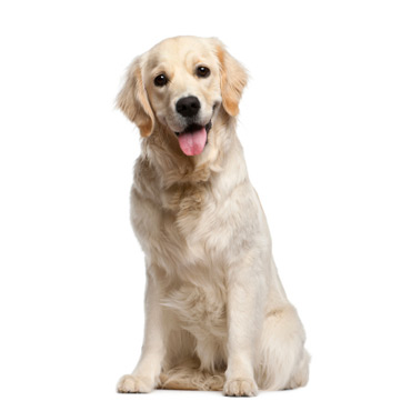 Golden Retriever - Race de chien - Yummypets