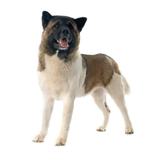 American Akita Dog Breed