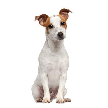 látás jack russell terrier)