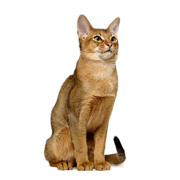 Cat Breed Abyssinian Pictures