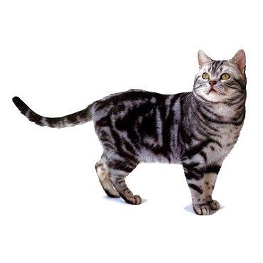 American Wirehair - Cat Breed