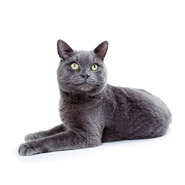 Celtic Shorthair (European Shortair)