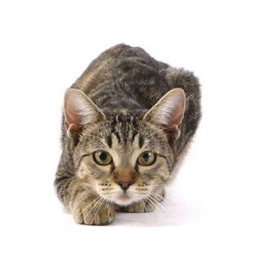 european shorthair cat breed