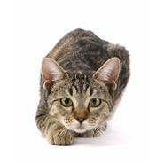 Gato común europeo