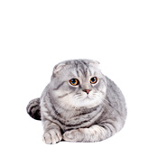 Highland Fold (Scottish Fold)