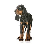 Perro cazador de mapaches negro y bronce