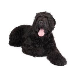 Terrier noir russe