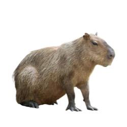 Cabiai (Capybara)
