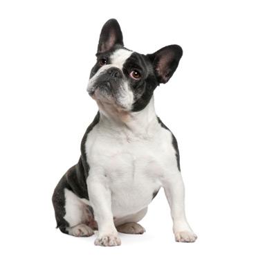 Bulldog francés, raza de Perro